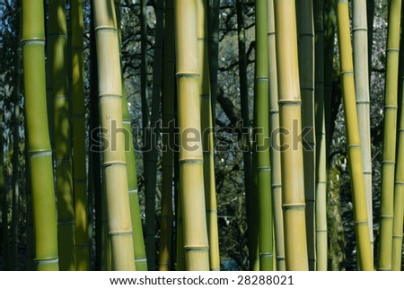 Bamboo Shoots, dark green through yellow and brown make up this natural background. - stock photo