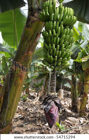 Banana bunch (Musa acuminata) and flower in a plantation at Tenerife in the Spanish Canary Islands - stock photo