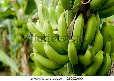 Banana bunch ripening on tree. - stock photo