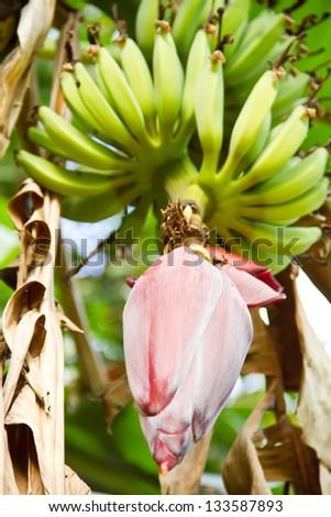 Banana flower - stock photo