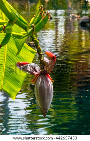 banana flower and fruits on beautiful water background - stock photo