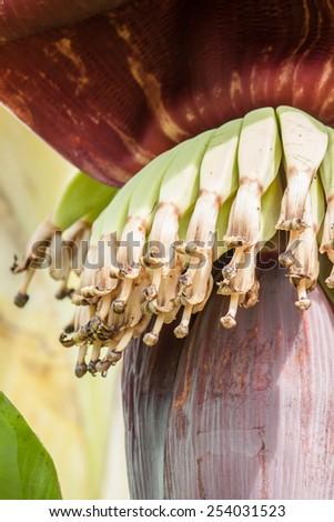 banana Flower on tree - stock photo