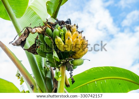 Banana fruit in country, Thailand. - stock photo