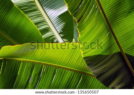 Banana leaf backlit sun - background - stock photo