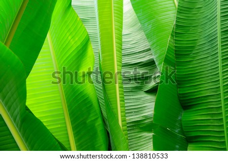 Banana leaf for background and texture - stock photo