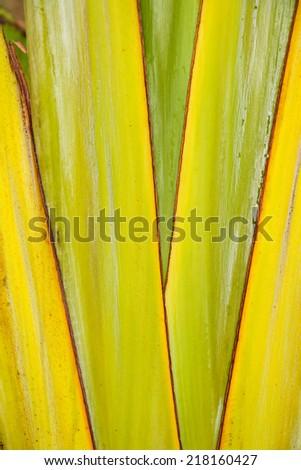 Banana leave - stock photo