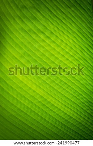 Banana leave texture background - stock photo