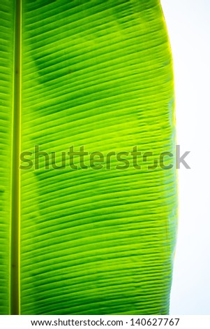 Banana leaves, bright colors can be used to advantage. - stock photo