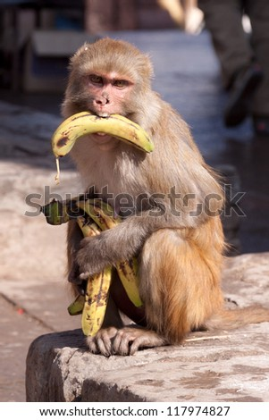 Banana-Monkey is hungry - stock photo