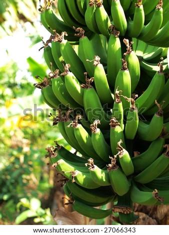 Banana on tree. - stock photo