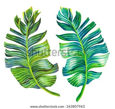 banana palm leaves. single isolated hand drawn detailed motifs, illustration in vintage botanic style. on white background. - stock photo