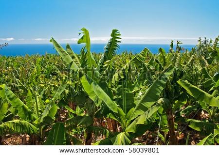 Banana palms from La Palma, Canary Islands - stock photo
