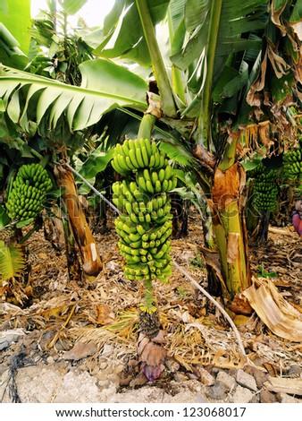 Banana Tree, Hierro, Canary Islands, Spain - stock photo