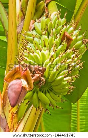Banana tree in the - stock photo