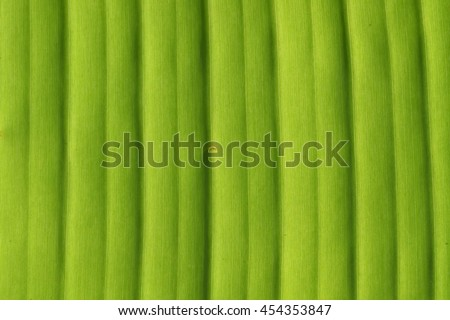 Banana tree leaf closeup natural background texture. - stock photo