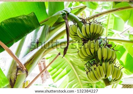Banana tree with a bunch of bananas. - stock photo