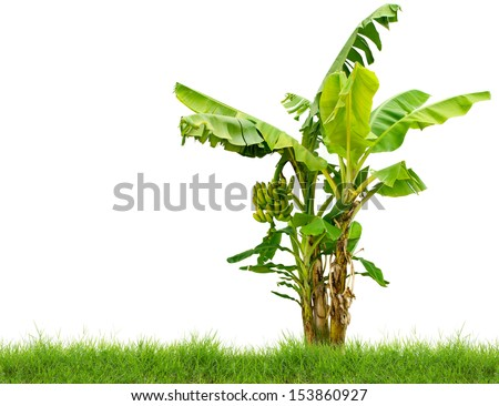 banana tree with fresh green grass isolated on white background - stock photo