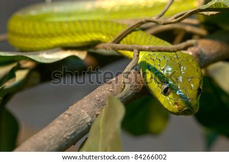 Banded Cat-eyed Snake (Leptodeira annulata) - stock photo