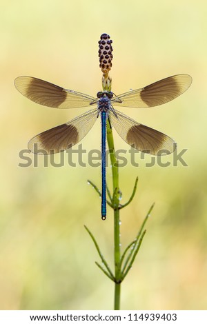 Banded Demoiselle Dragonfly - Calopteryx splendens Wide open wings - stock photo