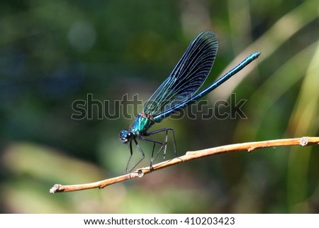 Banded demoiselle male (Calopteryx splendens), beautiful dragonfly - stock photo