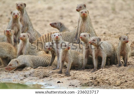 Banded Mongoose - African Rodent Background - Band of Brothers and Life - stock photo