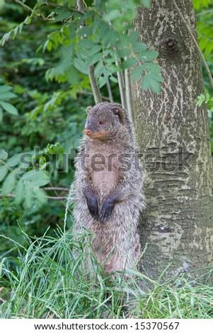 Banded mongoose (Mungos mungo) - stock photo