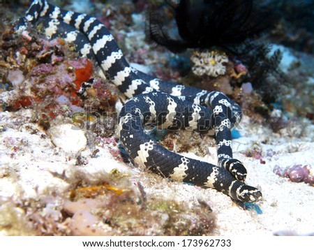 Banded sea kraits in Bohol sea, Phlippines Islands - stock photo