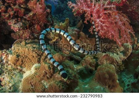 Banded Sea Snake - stock photo