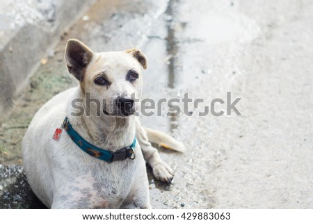 BANGPROK PATHUMTANI THAILAND JUN,2016 :A unidentified dog with collar sit on the road on June 1,2016 in Bangprok Muang Phatumtani Thailand. - stock photo