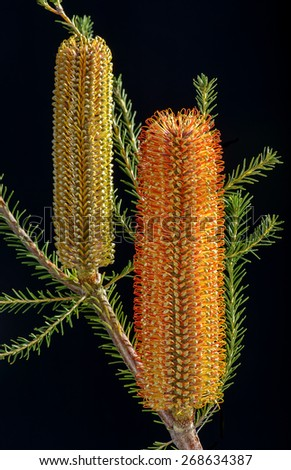 Banksia ericifolia (Heath Banksia) flowers with branches and leaves isolated on black - stock photo