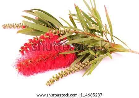 Banksia (Proteaceae) isolated on white background. Australian native flower. - stock photo