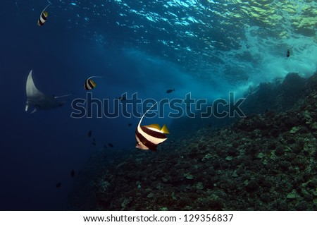 Banner fish and a manta ray swimming over a reef. - stock photo
