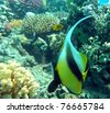 Banner-fish at the Red Sea coral reef - stock photo