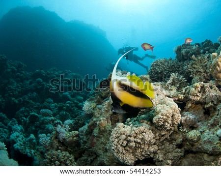 banner fish with scuba diver - stock photo