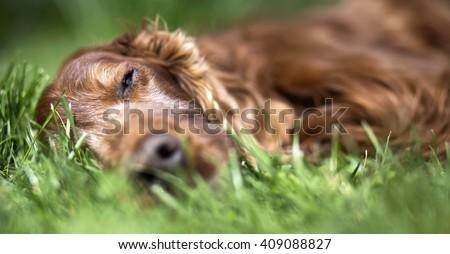Banner of a beautiful lazy sleeping Irish Setter - stock photo