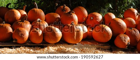 Banner shaped pumpkins in morning sunshine. The bright sunshine is coming from the left and is falling across the pumpkins, creating highlights and shadows. There are wood shavings on the ground. - stock photo