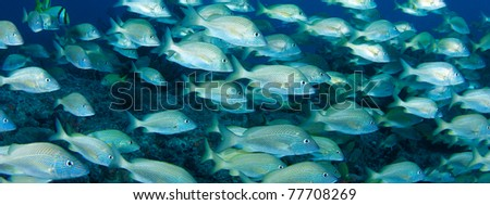 Banner View of a school of White Grunts. - stock photo