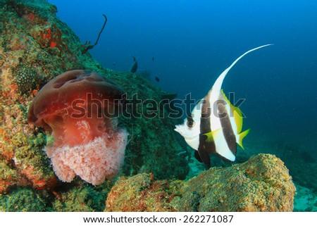 Bannerfish and Jellyfish - stock photo