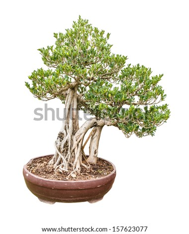 banyan fig trees as bonsai isolated on white background - stock photo