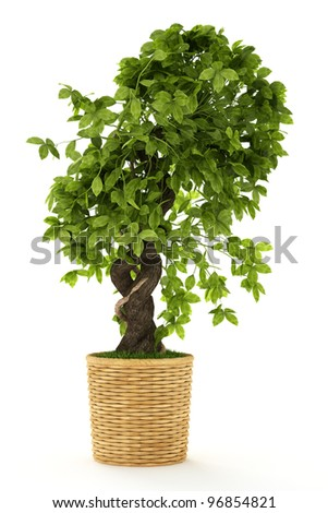 Banyan or ficus bonsai tree isolated over white - stock photo