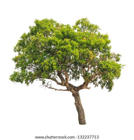 Banyan Tree (Ficus annulata), tropical tree in the northeast of Thailand isolated on white background - stock photo