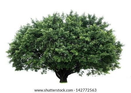 Banyan tree isolated on white background - stock photo