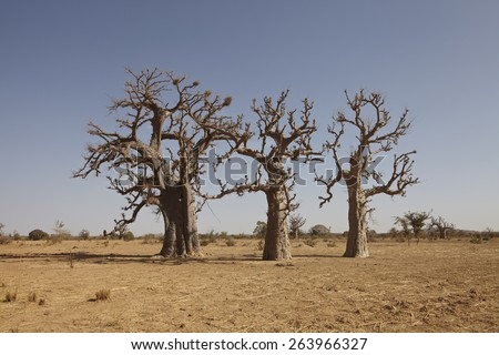 bao bao baobab tree in africa savanna - stock photo