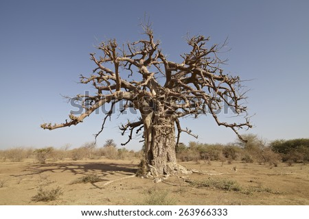 bao boa baobab tree in africa savanna - stock photo