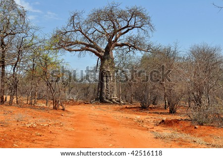 baobab and red soil in Africa - stock photo