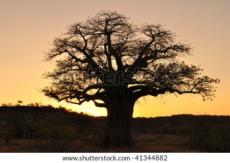 baobab tree against sunset, Mapungubwe national park,south africa - stock photo