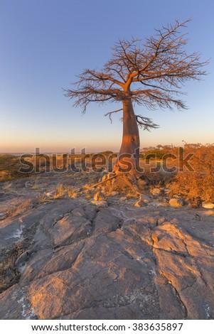 Baobab Tree at sunrise - stock photo