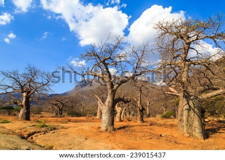 Baobab tree forest in Africa on a sunny day - stock photo