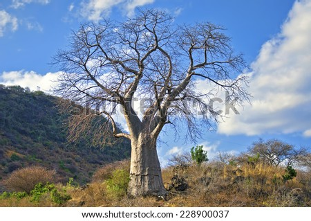 Baobab tree in Savanna - stock photo