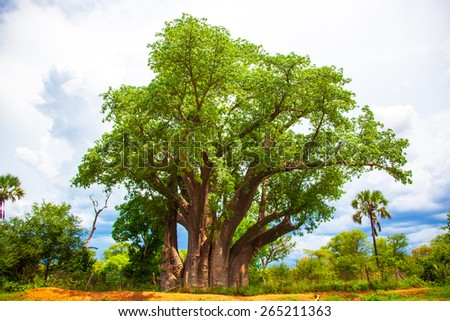 Baobab tree in Victoria Falls Zimbabwe Africa - stock photo